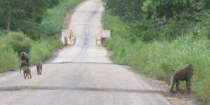 Die Affen rasen durch den Wald... und überqueren die Strasse