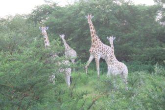 Giraffen, ausserhalb des Parks