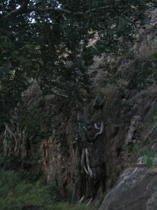 Baumwurzeln am Felsen
