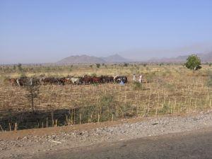 Rinderherde in einem abgeernteten Feld