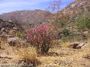 Die blühende Pflanze im Vordergrund wird Elefantenfuß genannt.