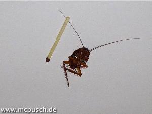 Kakerlake mit Streichholz zum Grössenvergleich.